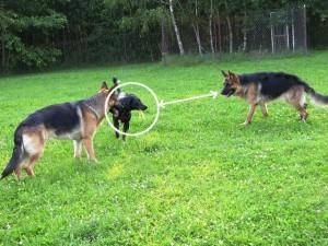 Czarny pies prezentuje trzcinkę w pysku zachęcając do gonienia owczarka z prawej strony