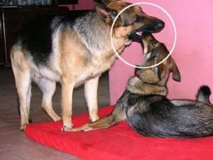 Oblizywanie pyska innego psa